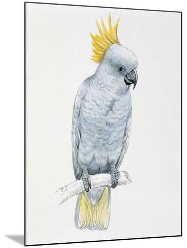 Close-Up of a Sulfur Crested Cockatoo (Cacatua Galerita)--Mounted Giclee Print