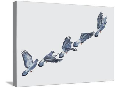 Close-Up of a Rock Pigeon in Flight (Columba Livia)--Stretched Canvas Print
