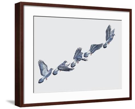 Close-Up of a Rock Pigeon in Flight (Columba Livia)--Framed Art Print