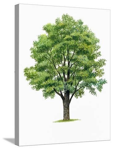 Botany, Trees, Ulmaceae, European White Elm Ulmus Laevis--Stretched Canvas Print