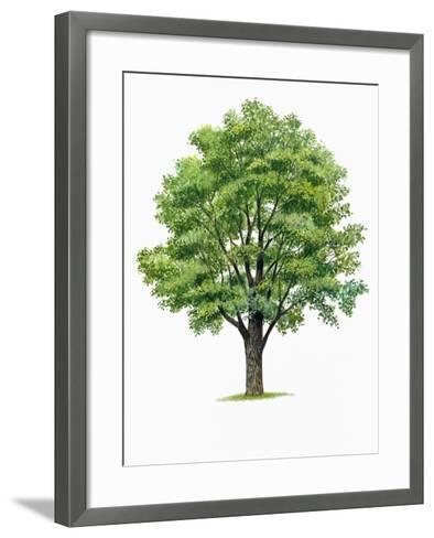 Botany, Trees, Ulmaceae, European White Elm Ulmus Laevis--Framed Art Print