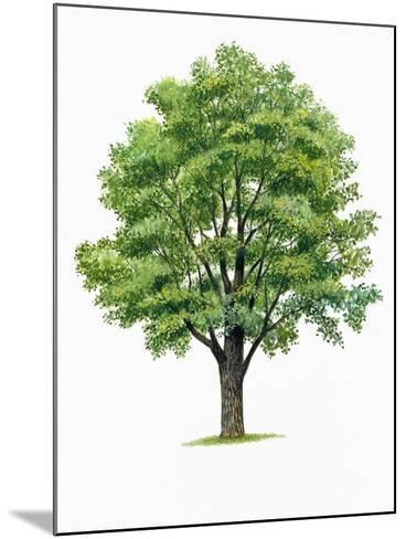 Botany, Trees, Ulmaceae, European White Elm Ulmus Laevis--Mounted Giclee Print