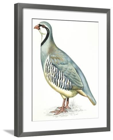 Birds: Galliformes, Rock Partridge (Alectoris Graeca)--Framed Art Print