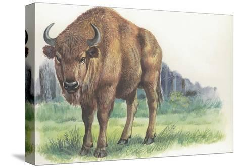 Close-Up of a Wisent Standing in the Forest (Bison Bonasus)--Stretched Canvas Print