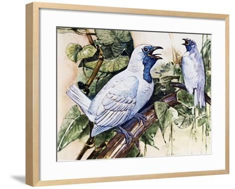 Bare-Throated Bellbird (Procnias Nudicollis), Cotingidae--Framed Art Print