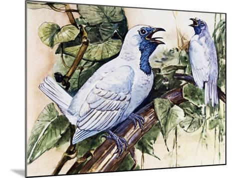 Bare-Throated Bellbird (Procnias Nudicollis), Cotingidae--Mounted Giclee Print