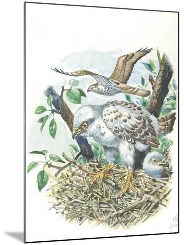 Young European Honey Buzzards Pernis Apivorus in Nest--Mounted Giclee Print