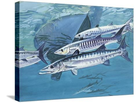 Close-Up of a Group of Great Barracuda Fish (Sphyraena Barracuda)--Stretched Canvas Print