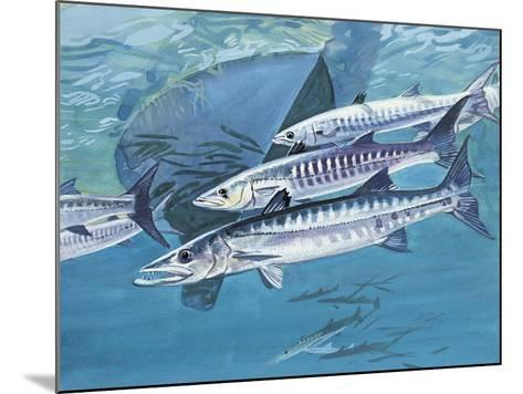 Close-Up of a Group of Great Barracuda Fish (Sphyraena Barracuda)--Mounted Giclee Print