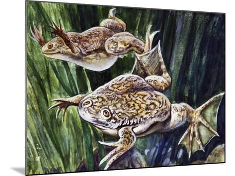 African Clawed Frog or Xenopus (Xenopus Laevis), Pipidae--Mounted Giclee Print