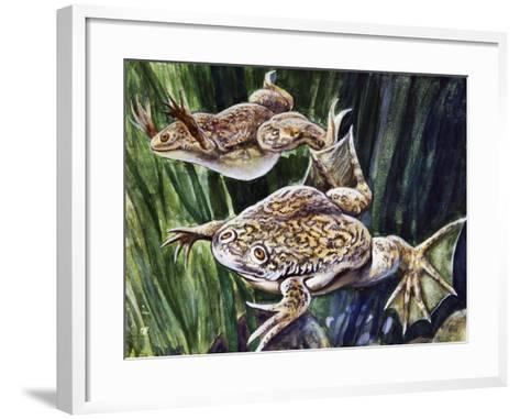 African Clawed Frog or Xenopus (Xenopus Laevis), Pipidae--Framed Art Print