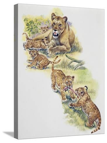 Lioness (Panthera Leo) with Her Cubs, Felidae--Stretched Canvas Print