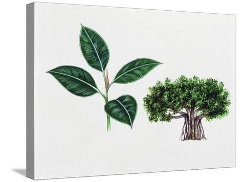 Moreton Bay Fig (Ficus Macrophylla), Moraceae, Tree and Leaves--Stretched Canvas Print