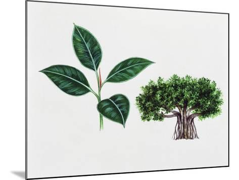 Moreton Bay Fig (Ficus Macrophylla), Moraceae, Tree and Leaves--Mounted Giclee Print