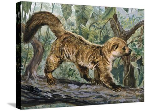 Eastern Lowland Olingo (Bassaricyon Alleni), Procyonidae--Stretched Canvas Print