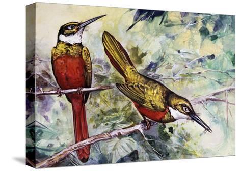 Rufous-Tailed Jacamar (Galbula Ruficauda), Galbulidae--Stretched Canvas Print
