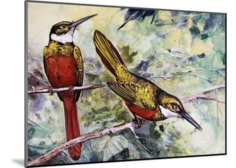 Rufous-Tailed Jacamar (Galbula Ruficauda), Galbulidae--Mounted Giclee Print