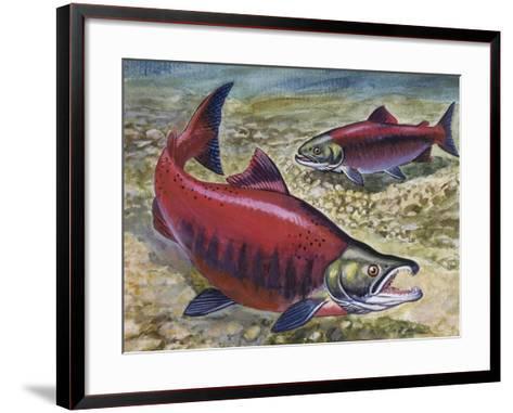 Sockeye Salmon or Red Salmon (Oncorhynchus Nerka), Salmonidae--Framed Art Print