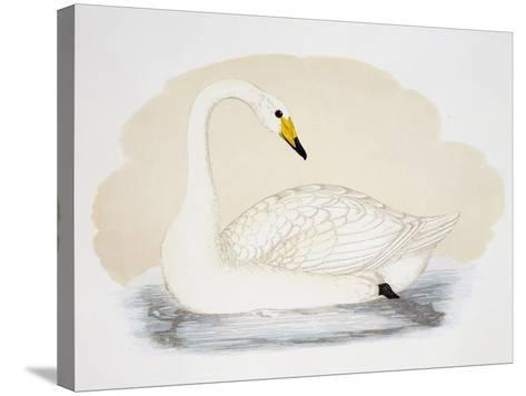 Wild Swan (Cygnus Cygnus), United Kingdom, 19th Century--Stretched Canvas Print