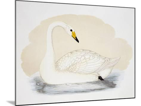 Wild Swan (Cygnus Cygnus), United Kingdom, 19th Century--Mounted Giclee Print