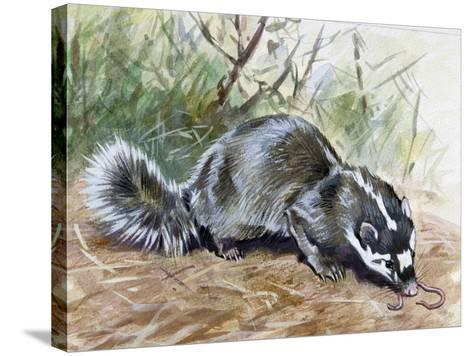 Chinese Ferret-Badger (Melogale Moschata), Mustelidae--Stretched Canvas Print