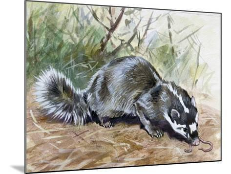 Chinese Ferret-Badger (Melogale Moschata), Mustelidae--Mounted Giclee Print