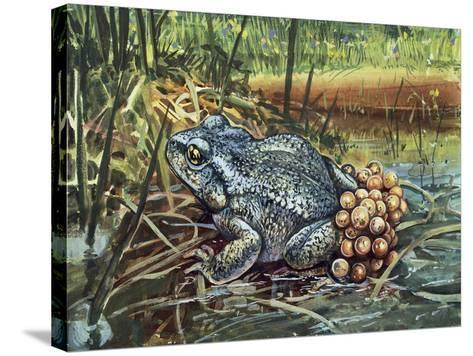 Close-Up of a Colorado River Toad Producing Eggs (Bufo Alvarius)--Stretched Canvas Print