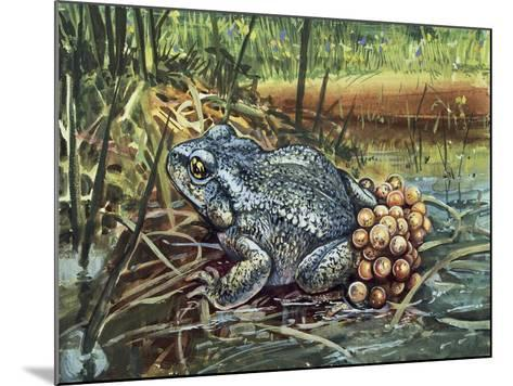 Close-Up of a Colorado River Toad Producing Eggs (Bufo Alvarius)--Mounted Giclee Print