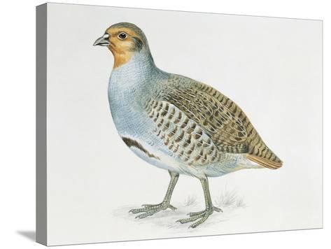 Close-Up of a Grey Partridge (Perdix Perdix)--Stretched Canvas Print