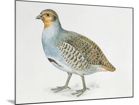 Close-Up of a Grey Partridge (Perdix Perdix)--Mounted Giclee Print