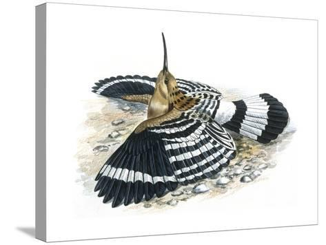 Birds: Coraciiformes, Hoopoe (Upupa Epops) Camouflaging--Stretched Canvas Print