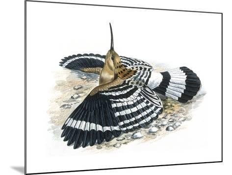 Birds: Coraciiformes, Hoopoe (Upupa Epops) Camouflaging--Mounted Giclee Print