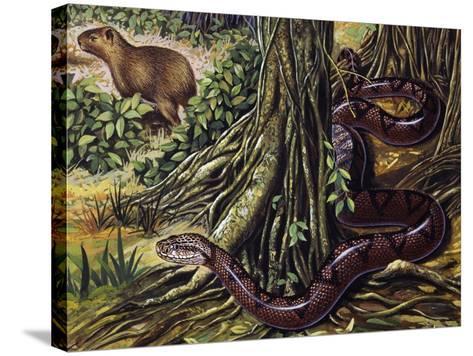 Atlantic Bushmaster (Lachesis Mutus), Viperidae--Stretched Canvas Print