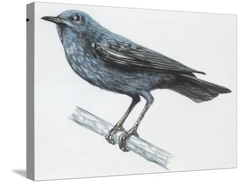 Zoology: Birds, Blue Rock-Thrush (Monticola Solitarius)--Stretched Canvas Print