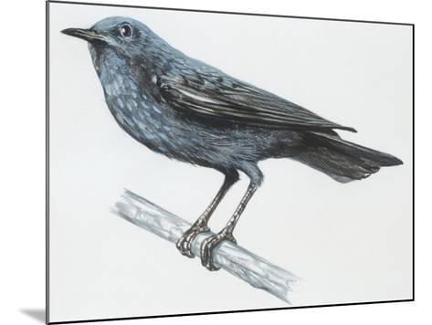 Zoology: Birds, Blue Rock-Thrush (Monticola Solitarius)--Mounted Giclee Print
