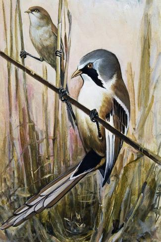 Bearded Parrotbill (Panurus Biarmicus), Timaliidae--Stretched Canvas Print