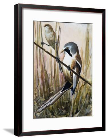 Bearded Parrotbill (Panurus Biarmicus), Timaliidae--Framed Art Print