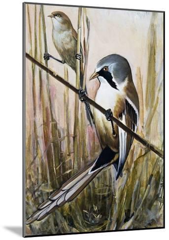 Bearded Parrotbill (Panurus Biarmicus), Timaliidae--Mounted Giclee Print