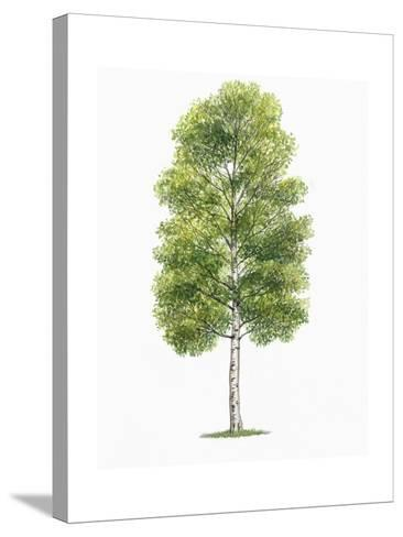 Botany, Trees, Betulaceae, European White Birch Betula Pubescens--Stretched Canvas Print