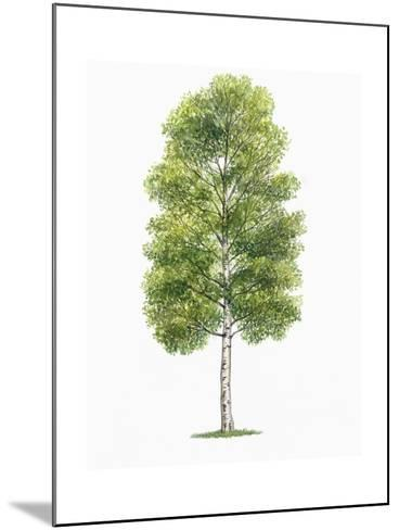 Botany, Trees, Betulaceae, European White Birch Betula Pubescens--Mounted Giclee Print