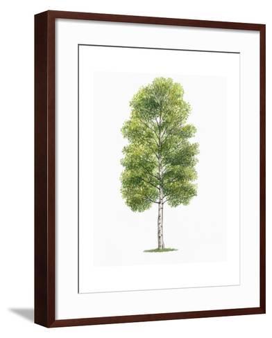 Botany, Trees, Betulaceae, European White Birch Betula Pubescens--Framed Art Print