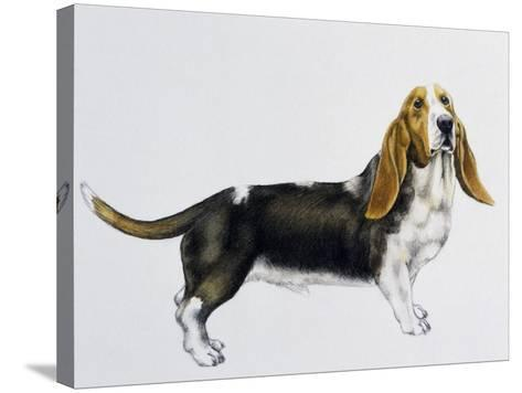 Basset Hound (Canis Lupus), Canidae, Drawing--Stretched Canvas Print