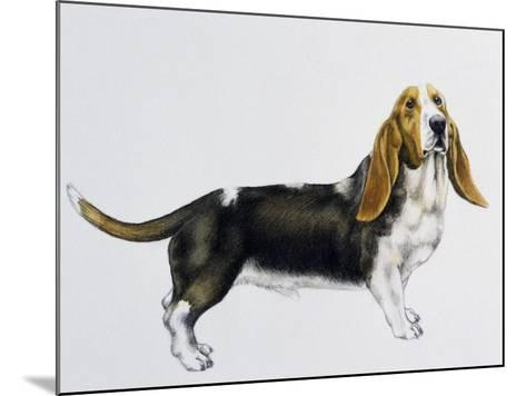 Basset Hound (Canis Lupus), Canidae, Drawing--Mounted Giclee Print