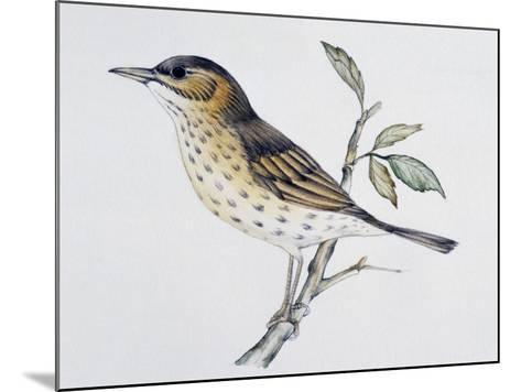 Song Thrush (Turdus Philomelos O Turdus Ericetorum), Turdidae--Mounted Giclee Print