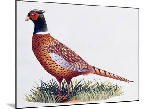 Common Pheasant Cock (Phasianus Colchicus), Phasianidae--Mounted Giclee Print