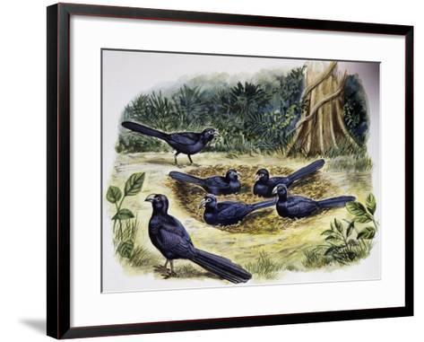 Smooth-Billed Ani Community (Crotophaga Ani), Cuculidae--Framed Art Print