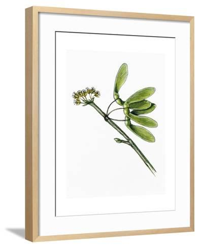 Flowers and Fruit of Silver Maple Acer Saccharinum--Framed Art Print