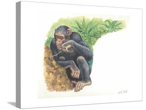 Chimpanzee Pan Troglodytes Fishing for Termites--Stretched Canvas Print
