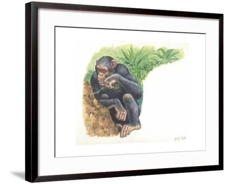 Chimpanzee Pan Troglodytes Fishing for Termites--Framed Art Print