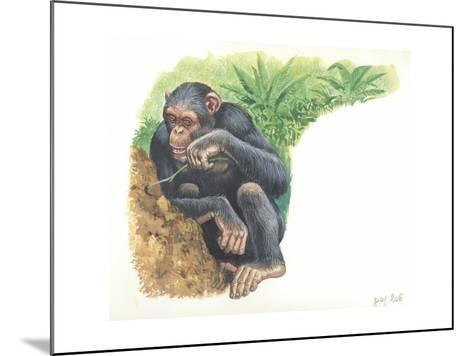 Chimpanzee Pan Troglodytes Fishing for Termites--Mounted Giclee Print